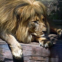 African Lion - _MG_2211