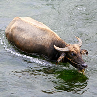 Water Buffalo - _MG_1173